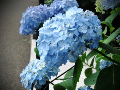 soku_17416.jpg :: PowerShotS95 風景 コンデジ埼玉 lock あじさい 植物 花 幸手あじさいまつり