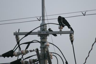 soku_17529.jpg :: 動物 鳥 カラス 建築 建造物 電柱 電線