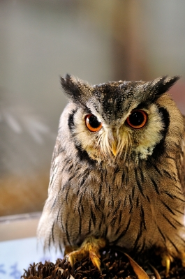 soku_17554.jpg :: ミナミアフリカオオコノハズク 掛川花鳥園 リリちゃん 動物 鳥 猛禽類