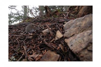 soku_17569.jpg :: 動物 哺乳類 鼠 ネズミ ハツカネズミ