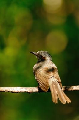 soku_17641.jpg :: 動物 鳥 ヒヨドリ