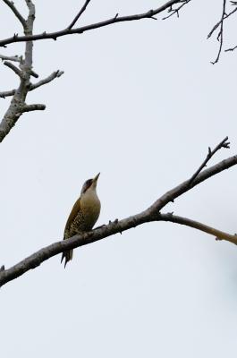 soku_17661.jpg :: 動物 鳥 野山の鳥 アオゲラ