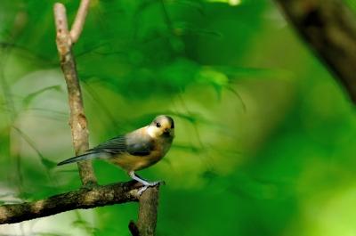 soku_17677.jpg :: 動物 鳥 野山の鳥 ヤマガラ 雛