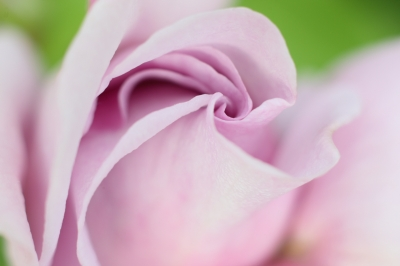 soku_17751.jpg :: 植物 花 薔薇 バラ しのぶれど エクステンションチューブ by Niigata