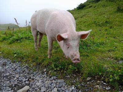 soku_17777.jpg :: スイス グリンデルワルト 豚 風景 街並み 郊外の風景 外国