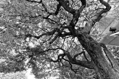 soku_17858.jpg :: 上野 新緑 木 風景 モノクロ