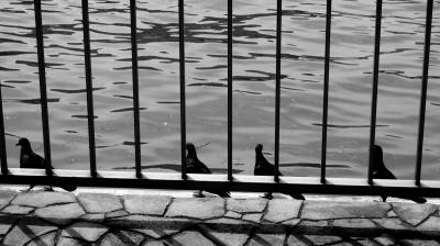 soku_18016.jpg :: 動物 鳥 鳩 ハト 隅田川
