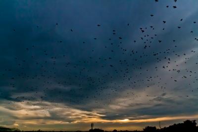 soku_18134.jpg :: 夕暮れ 夕焼け 空 雲 鳥 ヒッチコック ムクドリ 群れ