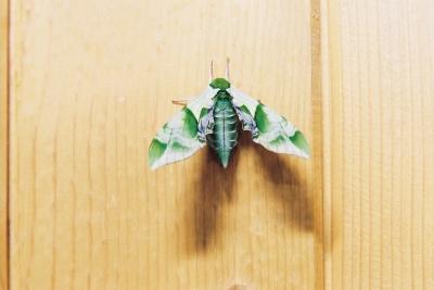 soku_18213.jpg :: 動物 虫 昆虫 蝶 チョウ ウンモンスズメ