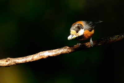 soku_18229.jpg :: 動物 鳥 野山の鳥 ヤマガラ