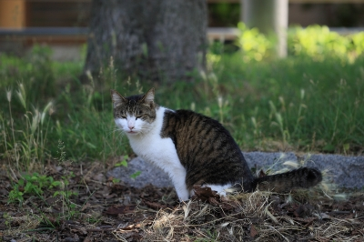 soku_18333.jpg :: 動物 哺乳類 猫 ネコ by Niigata
