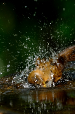 soku_18377.jpg :: 動物 鳥 野山の鳥 ガビチョウ 篭脱け 水浴び
