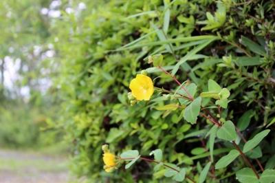 soku_18480.jpg :: 初一眼 植物 花 黄色い花