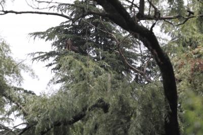 soku_18569.jpg :: 動物 鳥 猛禽類 大鷹 オオタカ