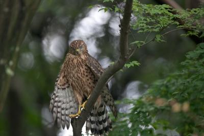 soku_18570.jpg :: 動物 鳥 猛禽類 大鷹 オオタカ