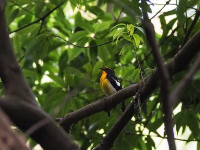 soku_18571.jpg :: 動物 鳥 野山の鳥 キビタキ
