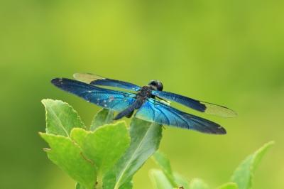 soku_18597.jpg :: 動物 虫 昆虫 蜻蛉 チョウトンボ by Niigata