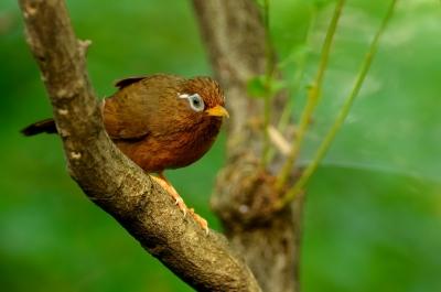 soku_18631.jpg :: 動物 鳥 野山の鳥 ガビチョウ 篭脱け