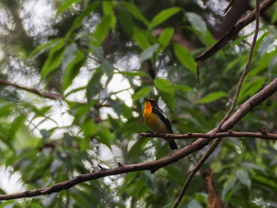 soku_18641.jpg :: 動物 鳥 野山の鳥 キビタキ