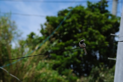 soku_18653.jpg :: 動物 鳥 野山の鳥 ハクセキレイ
