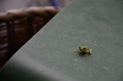 soku_18716.jpg :: 動物 爬虫類 両生類 カエル