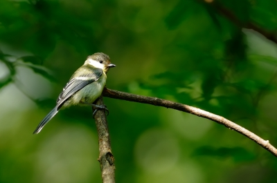 soku_18725.jpg :: 動物 鳥 野山の鳥 シジュウカラ