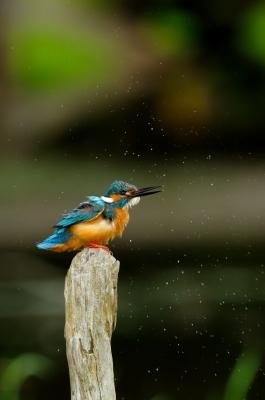 soku_18758.jpg :: 動物 鳥 池の鳥 カワセミ