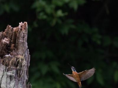 soku_18849.jpg :: 動物 鳥 野山の鳥 カワセミ