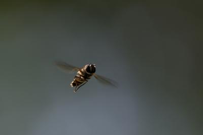 soku_18901.jpg :: 動物 虫 昆虫 虻 アブ
