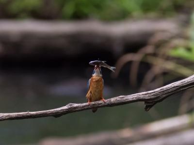 soku_18966.jpg :: 動物 鳥 野山の鳥 カワセミ