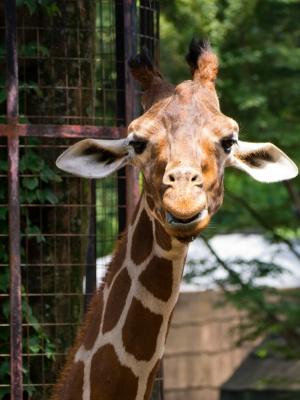 soku_19016.jpg :: 動物 哺乳類 キリン 動物園 多摩動物公園 こっち見んな