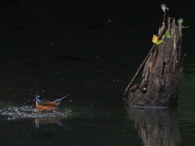 soku_19069.jpg :: 動物 鳥 野山の鳥 カワセミ