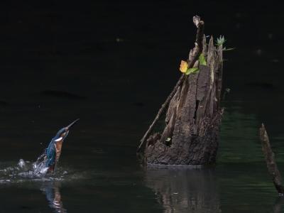 soku_19070.jpg :: 動物 鳥 野山の鳥 カワセミ