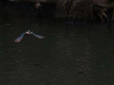 soku_19191.jpg :: 動物 鳥 野山の鳥 カワセミ