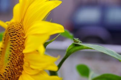 soku_19201.jpg :: 植物 花 向日葵 ヒマワリ カエル