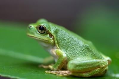 soku_19230.jpg :: アマガエル 動物 爬虫類 両生類 カエル