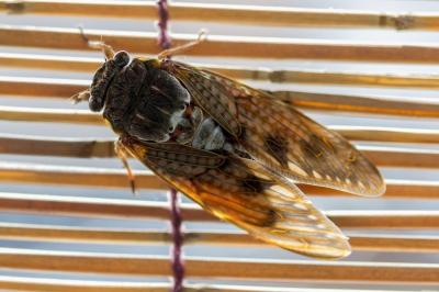 soku_19259.jpg :: アブラゼミ 動物 虫 昆虫 蝉 セミ