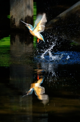 soku_19550.jpg :: 動物 鳥 水辺の鳥 カワセミ