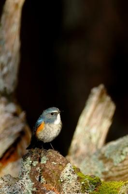 soku_19570.jpg :: 動物 鳥 野山の鳥 ルリビタキ