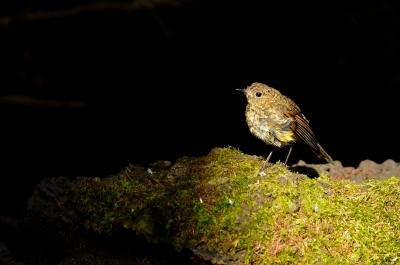 soku_19571.jpg :: 動物 鳥 野山の鳥 ルリビタキ 幼鳥