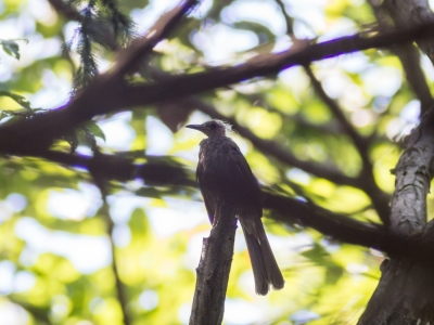 soku_19574.jpg :: 動物 鳥 ヒヨドリ