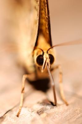 soku_19700.jpg :: 動物 虫 昆虫 蝶 チョウ