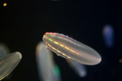 soku_19821.jpg :: 水族館 アクアワールド茨城県大洗水族館 動物 海の生物 クラゲ