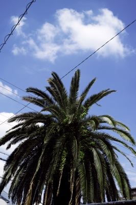 soku_19838.jpg :: 風景 自然 空 風景 自然 樹木 ソテツ