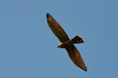 soku_19845.jpg :: 動物 鳥 猛禽類 大鷹 オオタカ 幼鳥