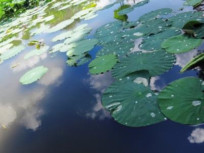 soku_19964.jpg :: PowerShotS95 風景 自然 水分 コンデジ埼玉 lock 蓮の葉 古代蓮の里 空 雲
