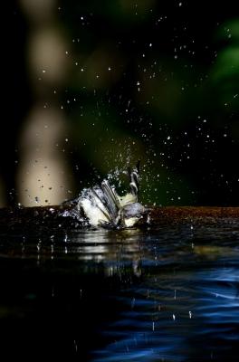 soku_19967.jpg :: 動物 鳥 野山の鳥 シジュウカラ 水浴び 水分