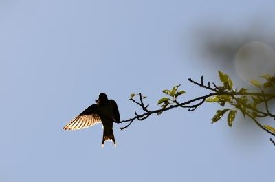 soku_19974.jpg :: 動物 鳥 燕 ツバメ