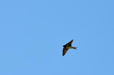 soku_20025.jpg :: 動物 鳥 燕 ツバメ ブレブレ