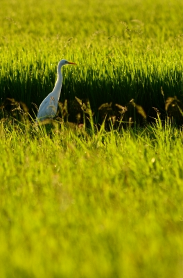 soku_20109.jpg :: 動物 鳥 河川の鳥 チュウサギ シロサギ